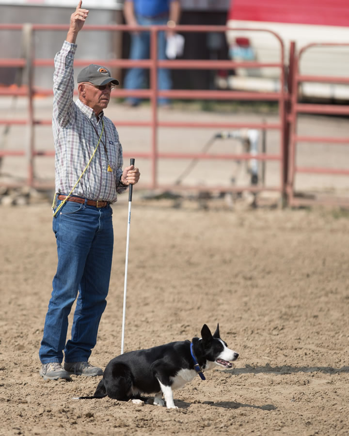 Julie Webb   Cattle Dogs 0132